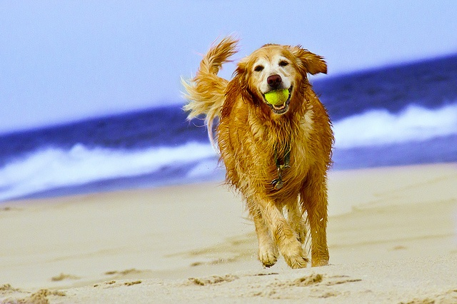 How fast can Golden Retrievers run?