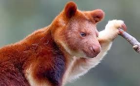 goodfellows tree kangaroo