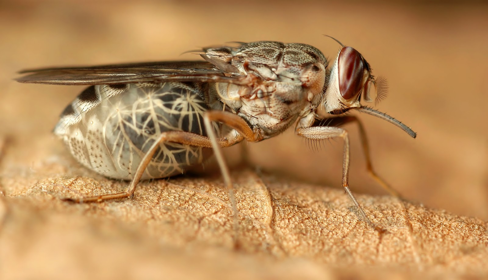 tsetse fly Tsetse flies can be seen as independent individuals in two forms: as third instar larvae, and as adults tsetse first become separate from their mothers during the third larval instar.