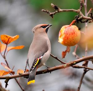 Syyskuu hengittää puutarhassa kypsyvien hedelmien...