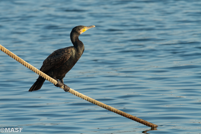 http://www.redbubble.com/people/masf/works/11370428-cormorant-at-sunset?ref=work_main_nav