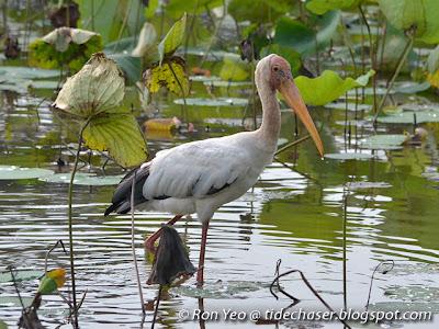 Milky Storks (Mycteria cinerea)