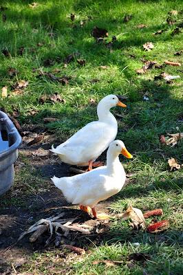 Ducks-Hickory-Ridge-Studio
