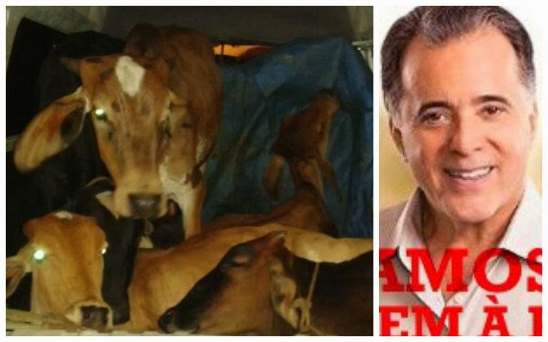 Dois <b>são</b> presos em Minas transportando <b>vacas</b> e bezerro em Kombi 2014