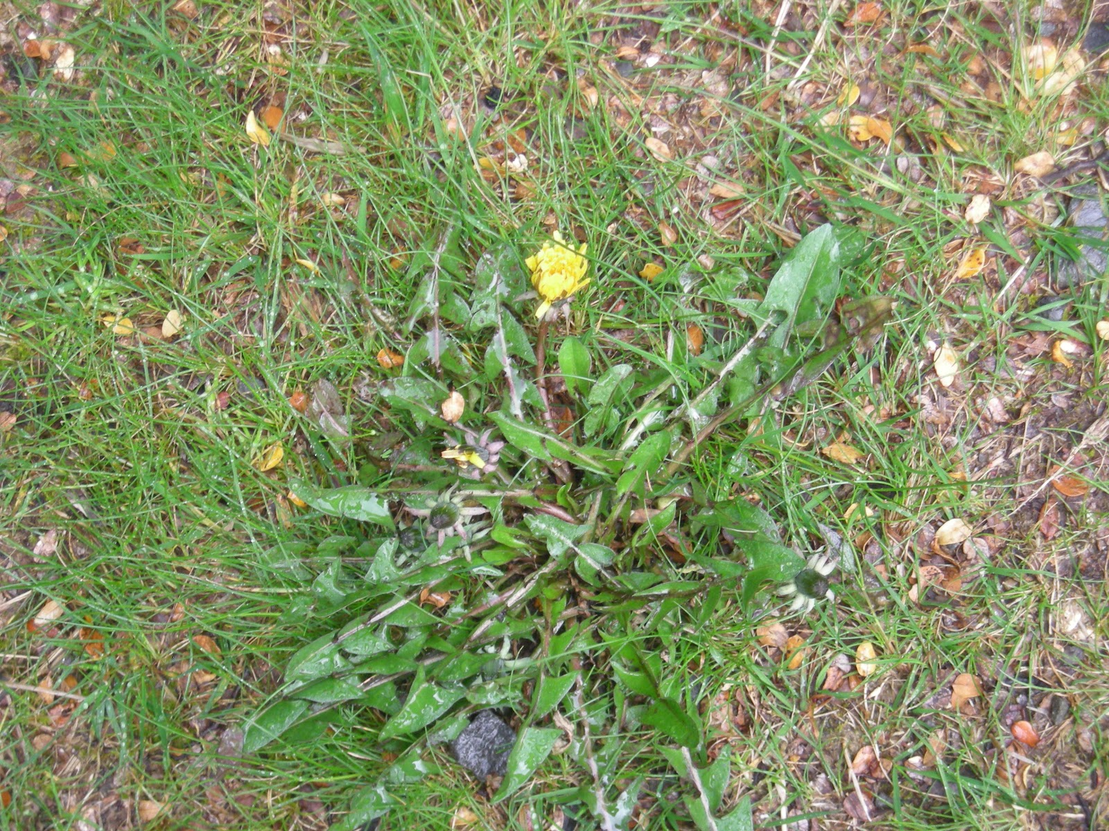 how to kill dandelions in your lawn nz