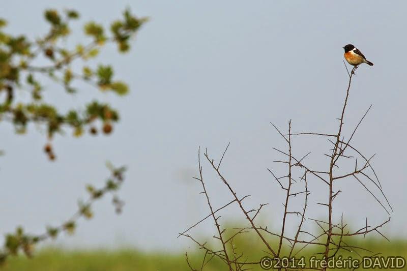nature oiseau tarier pâtre campagne Sénart Seine-et-Marne
