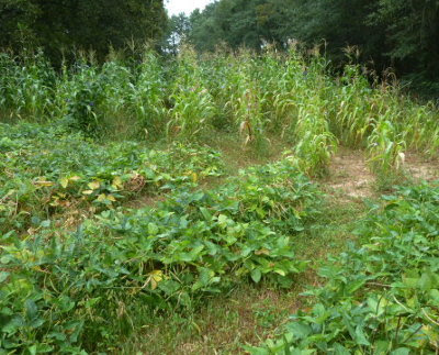 rows of corn & cowpeas, weeded with a lawnmower