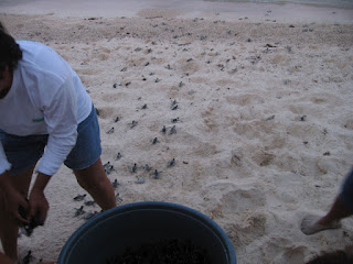 Baby sea turtles released on Playa la Media Luna
