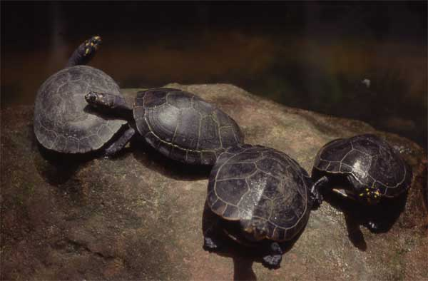 River Turtle Endangered Animals Facts, Wildlife Pictures And Videos