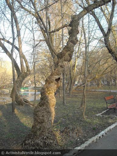 """Copacul cu """"guriţă de iepuraş din desene""""."""