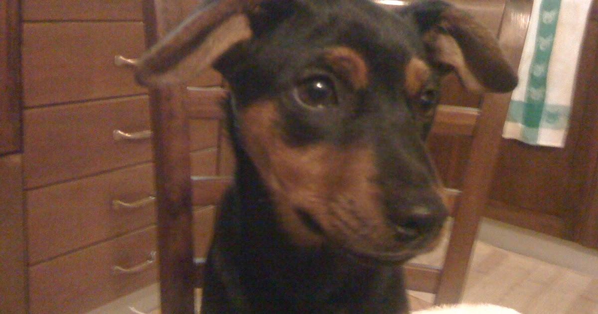 H Ngeregal K Che addestramento ed educazione dei cuccioli e adulto pinscher di cinque mesi che tira al