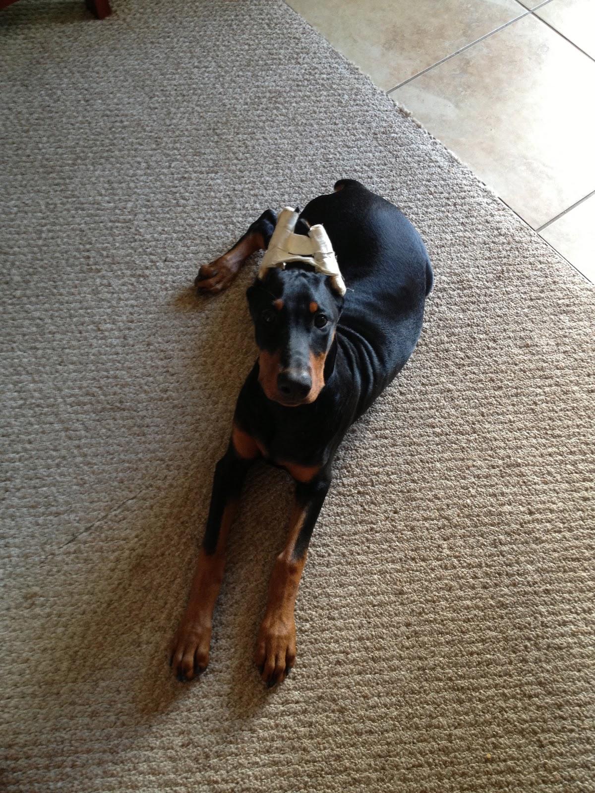 Such Good Dogs Doberman Ears