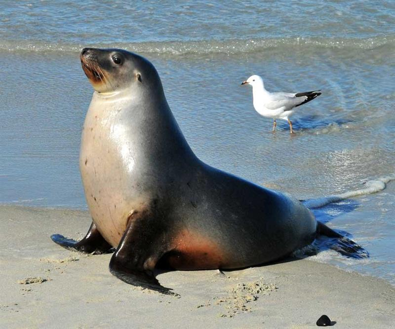 California Sea Lion Info And New Pictures  All Wildlife ...