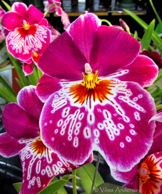 Orchid flower - pink purple