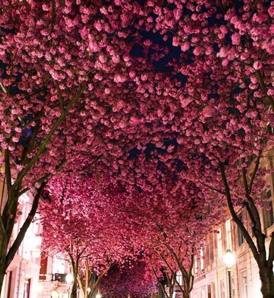Cherry Blossom Avenue, Bonn (Germania)