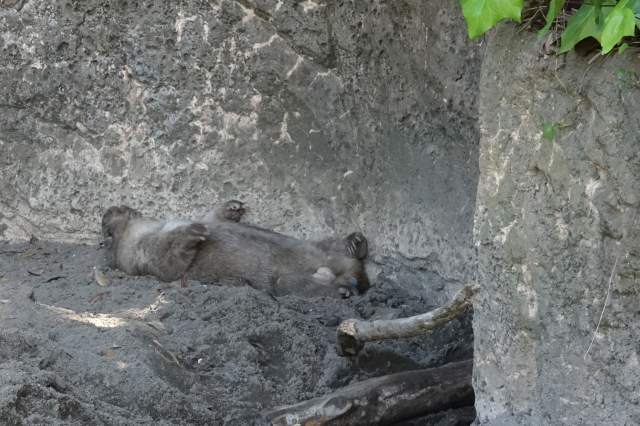 人間のように眠るウォンバット