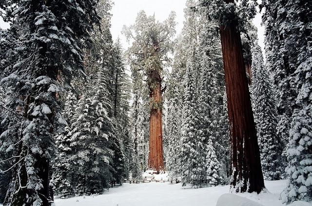 pokok terbesar, pokok gergasi, the president,