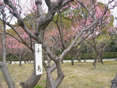 兵庫県・伊丹市 緑ヶ丘公園の梅 千鳥