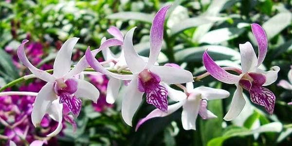 Varian Macam-Macam Bunga Anggrek