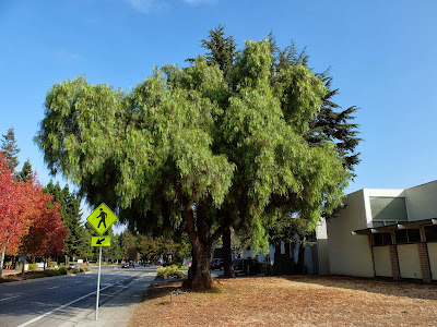 Schinus molle tree on North Shoreline Blvd
