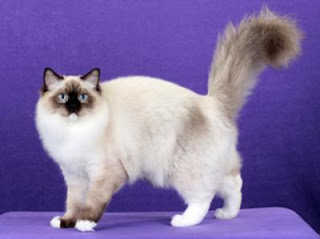Birman Cat Picture