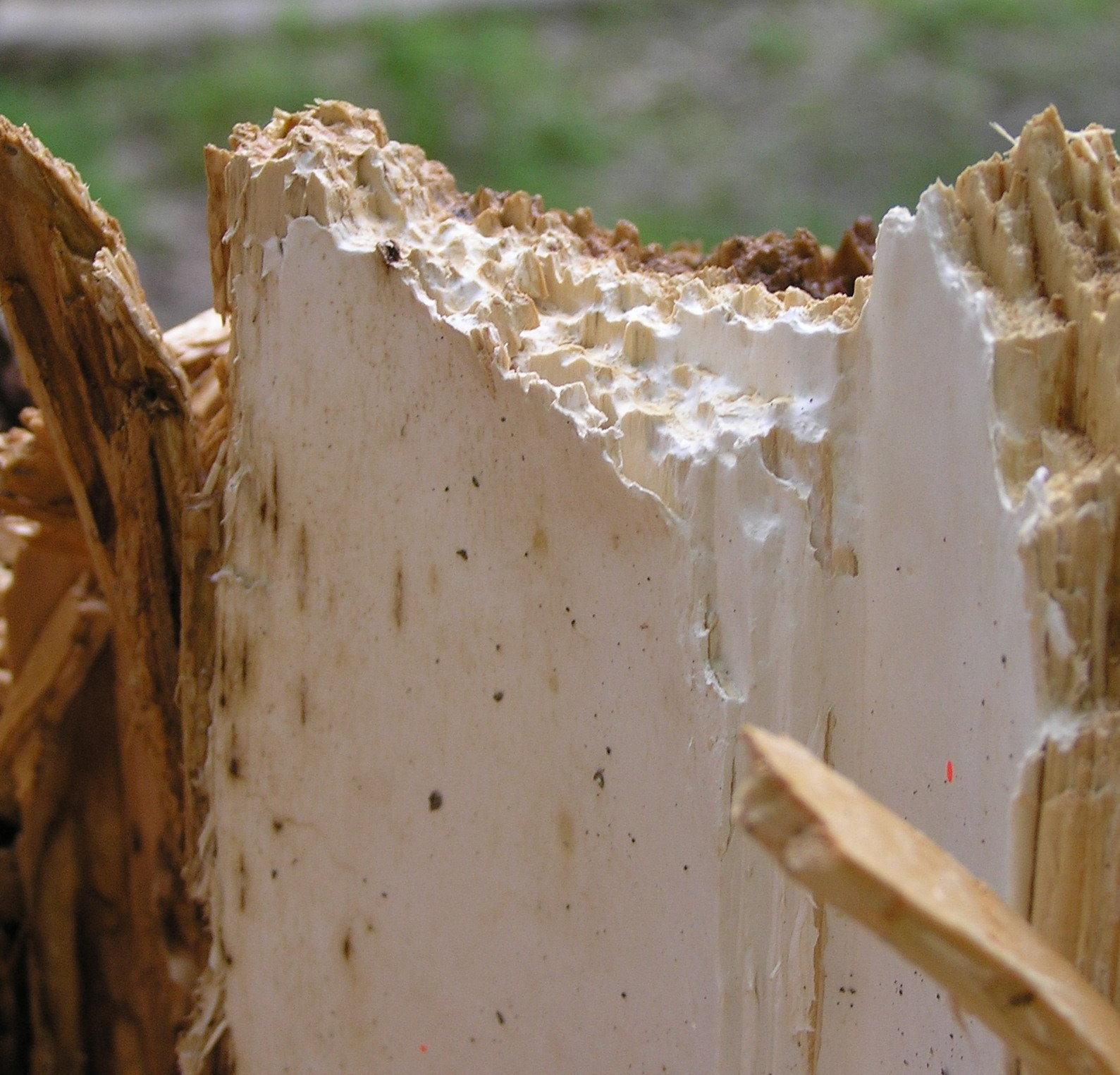 how to kill wood rot fungus