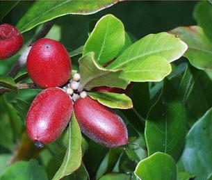 Buah Miracle ( Miracle Fruits ) Perubah Rasa [ www.BlogApaAja.com ]