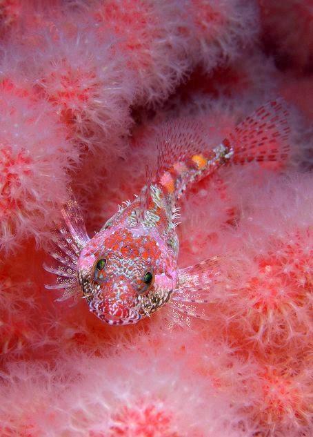#Sculpin in soft #coral