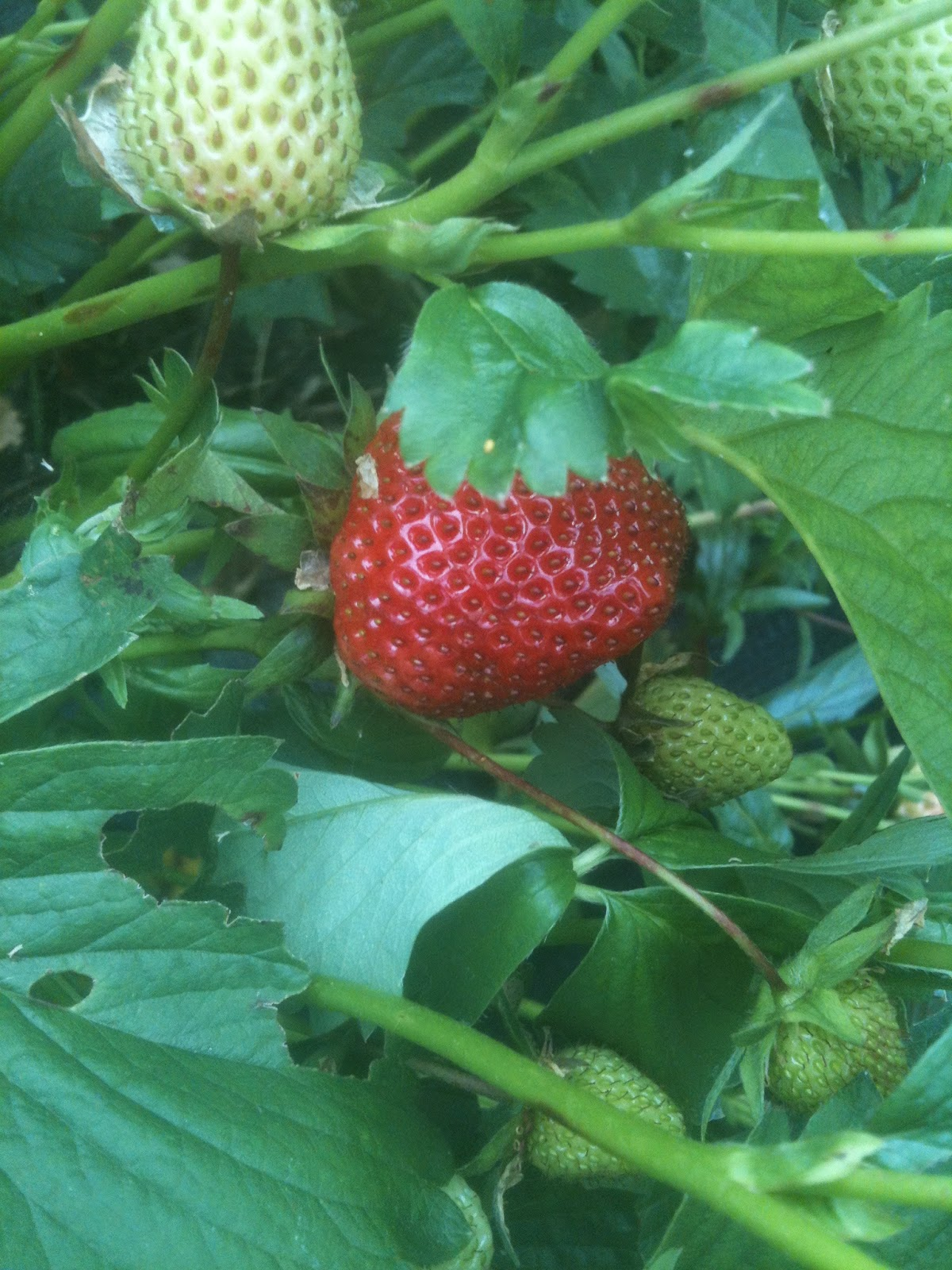 Hotbeds can give you early strawberries #lifeonpigrow