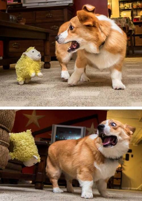 Funny puppy afraid of a doll sheep
