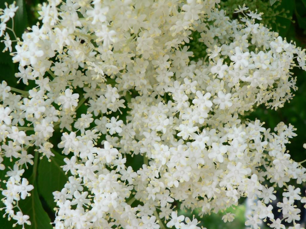 Il giardino sfumato sambuco fiori come pizzi for Nomi di fiori bianchi