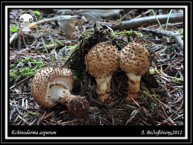 Echinoderma asperum (Pers.) Bon