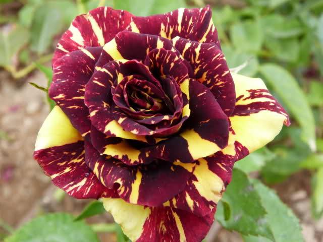 Image gallery las flores mas lindas - Rosas rosas hermosas ...