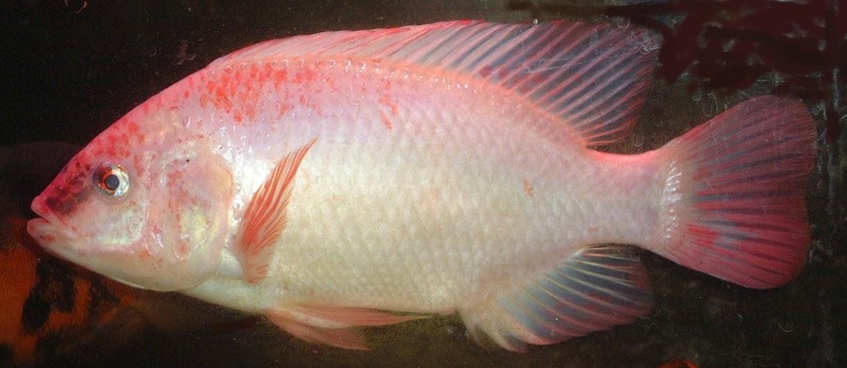Foto Ikan Nila
