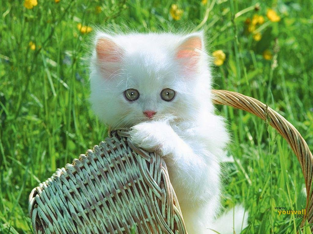 Des Photos petit chat blanc