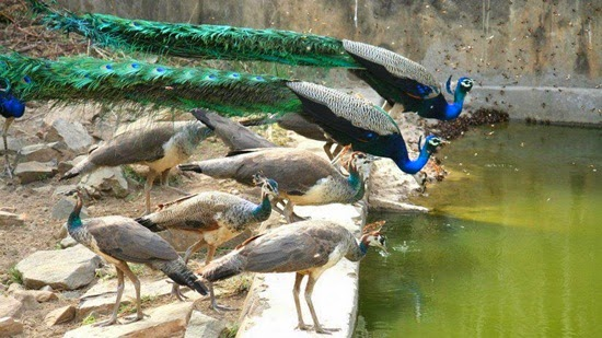 http://www.funmag.org/pictures-mag/animals-and-birds/beautiful-peacock-photos/