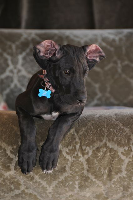 ... | Teacup Chihuahua | A Dog Blog: Say No To Cropping Great Dane Ears