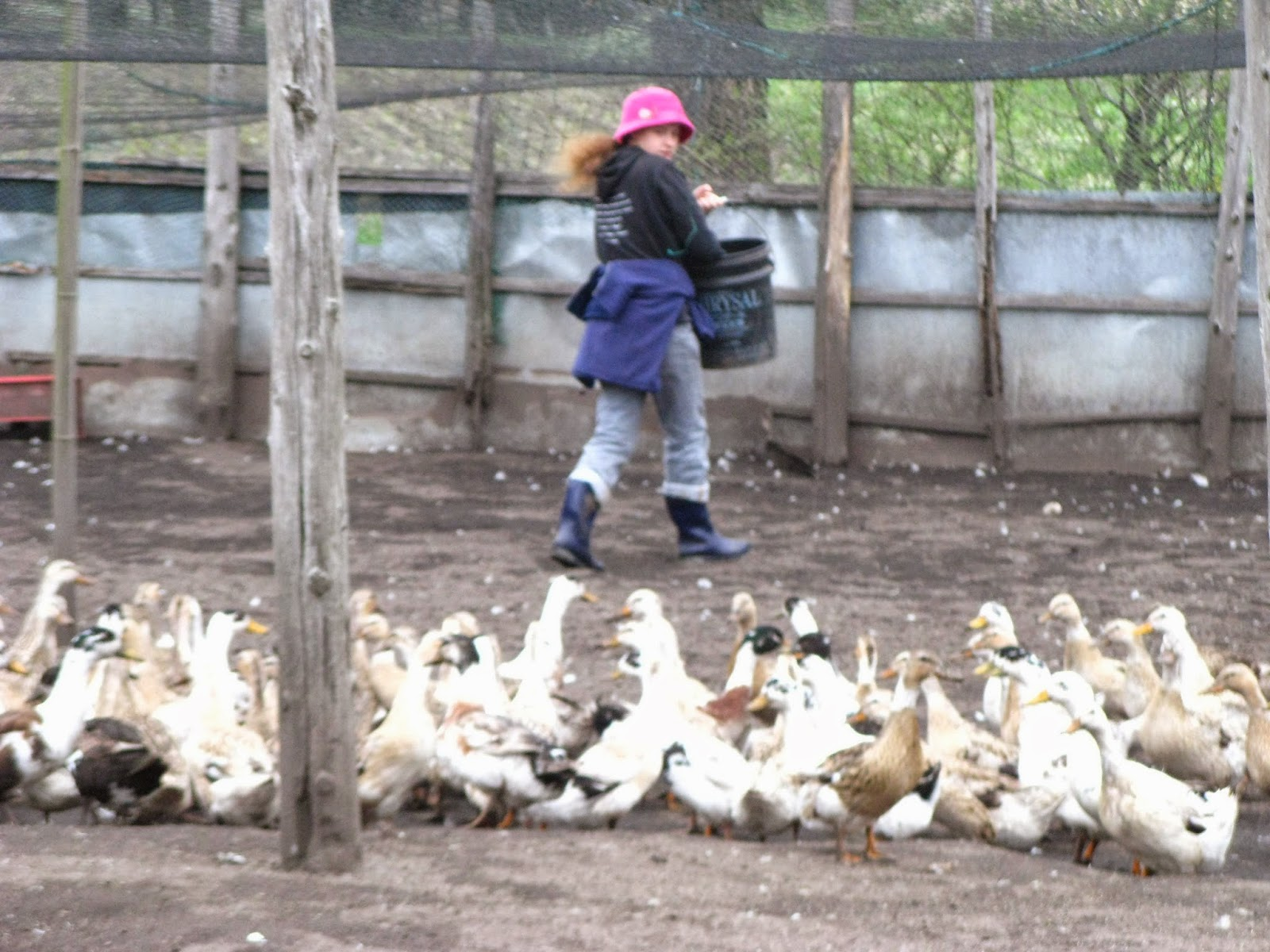 WWOOF Japan duck farm