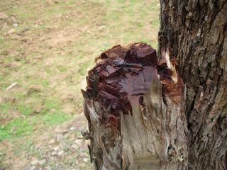 cachou arbre