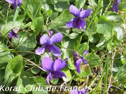 Violette bleue