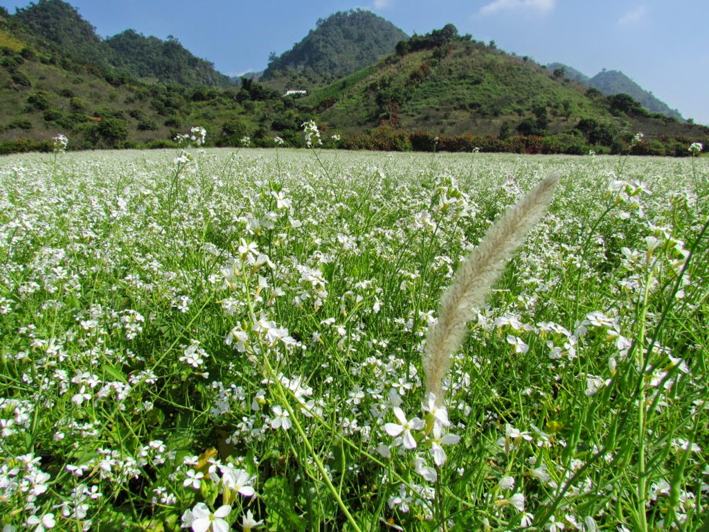 Moc Chau plateau - beautiful dreamy - cauliflower season