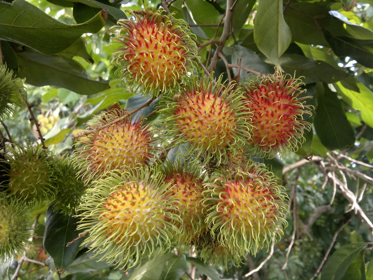 Shaun the Sheep.... I like!: My Rambutan Tree....its fruits