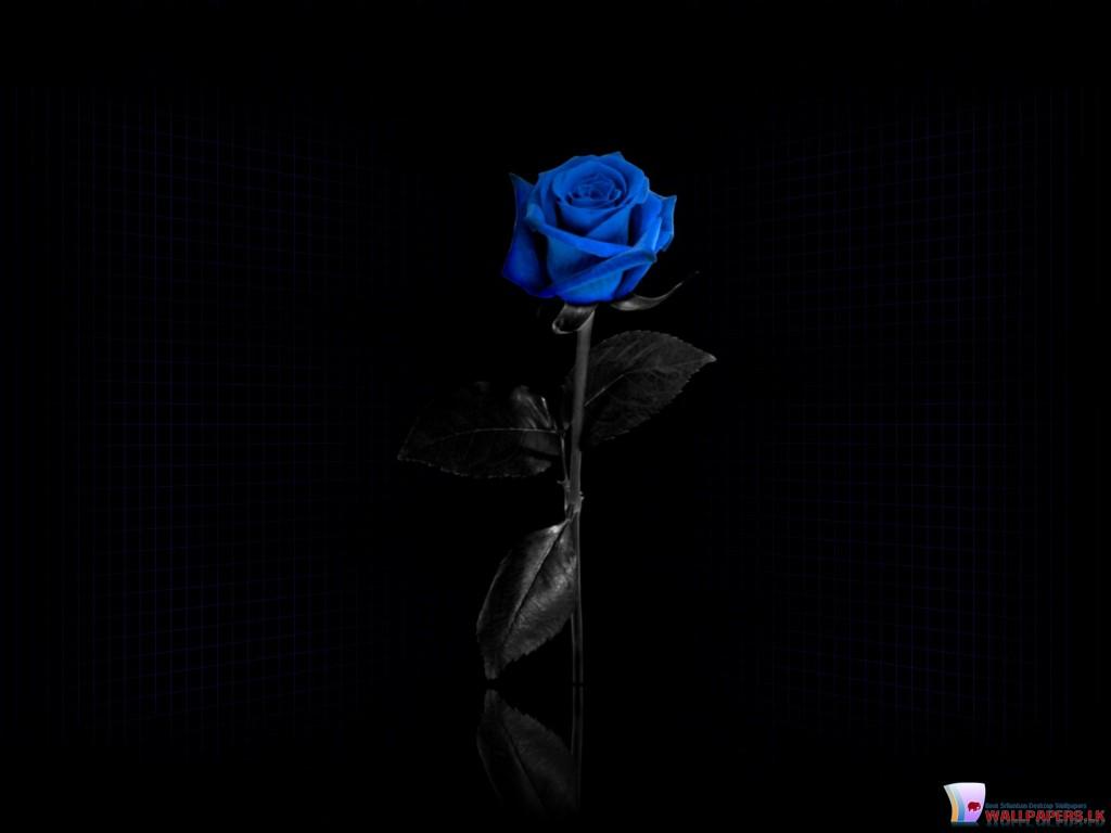 http://2.bp.blogspot.com/-bQiseAusD4Q/TZocg7XLW6I/AAAAAAAADpw/TWZdo9J8Faw/s1600/Blue-Rose-1024x768.jpg