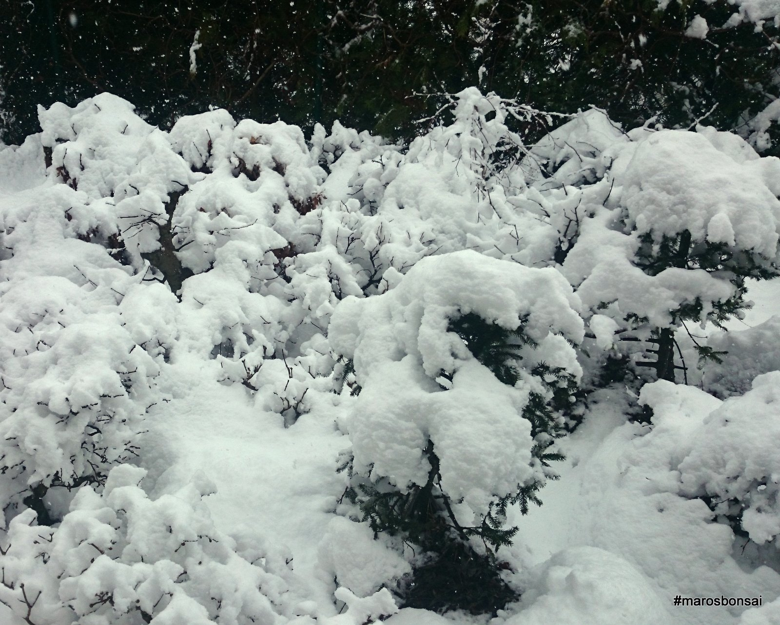 Maros Bonsai Blog Snow Snow Snow
