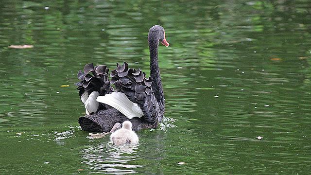 swan black isola mauritius isle isole maurizius bird birdwatching