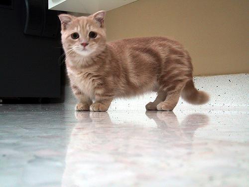 Munchkin | Fun Animals Wiki, Videos, Pictures, Stories