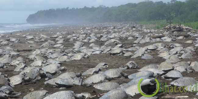 Playa Ostional - Kosta Rika