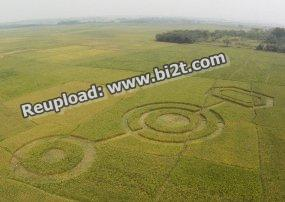 Foto Crop Circle di Cikarang BEkasi Jawa Barat Mei 2011