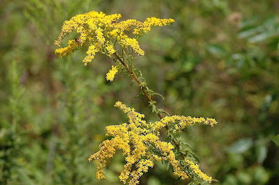 Solidago caesia asexual reproduction pictures