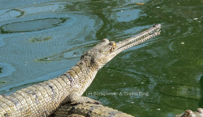 Chambal NAtional Sanctuary Gharial